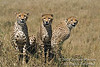 Three Cheetahs, Acinonyx jubatus, Red Oat Grass, Masai Mara National Reserve, Kenya, Africa, Carnivora Order, Felidae Family