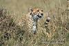 Subadult Cheetah, Acinonyx jubatus, Masai Mara National Reserve, Kenya, Africa, Carnivora Order, Felidae Family