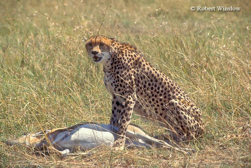 Cheetah (Acinonyx jubatus), with Thomson's Gazalle that it caught,  Masai Mara National Reserve, Kenya