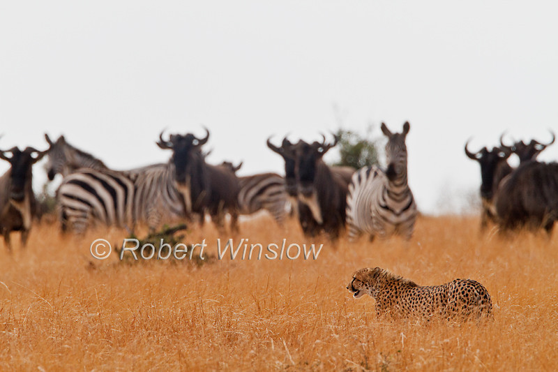 Cheetah, Acinonyx jubatus, Zebras and Wildebesst watching, but Cheetah will not hunt them, Red Oat Grass, Masai Mara National Reserve, Kenya, Africa, Carnivora Order, Felidae Family