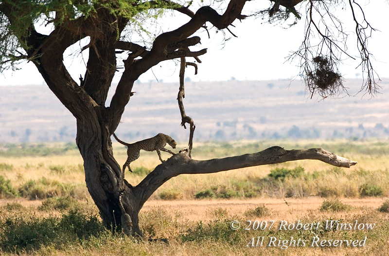 Cheetah in a Tree (Acinonyx jubatus), Amboseli National Park, Kenya, Africa