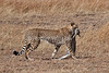 Cheetah, Acinonyx jubatus, Red Oat Grass,With Thomson's Gazelle that it caught,  Masai Mara National Reserve, Kenya, Africa, Carnivora Order, Felidae Family