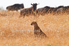 Cheetah, Acinonyx jubatus, Wildebeest watching, but Cheetah will not hunt them, Red Oat Grass, Masai Mara National Reserve, Kenya, Africa, Carnivora Order, Felidae Family
