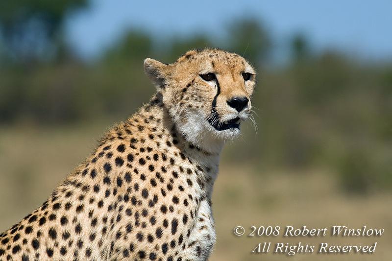 Female Cheetah, With a Fly by its Eye,  Acinonyx jubatus, Masai Mara National Reserve, Kenya, Africa, Carnivora Order, Felidae Family