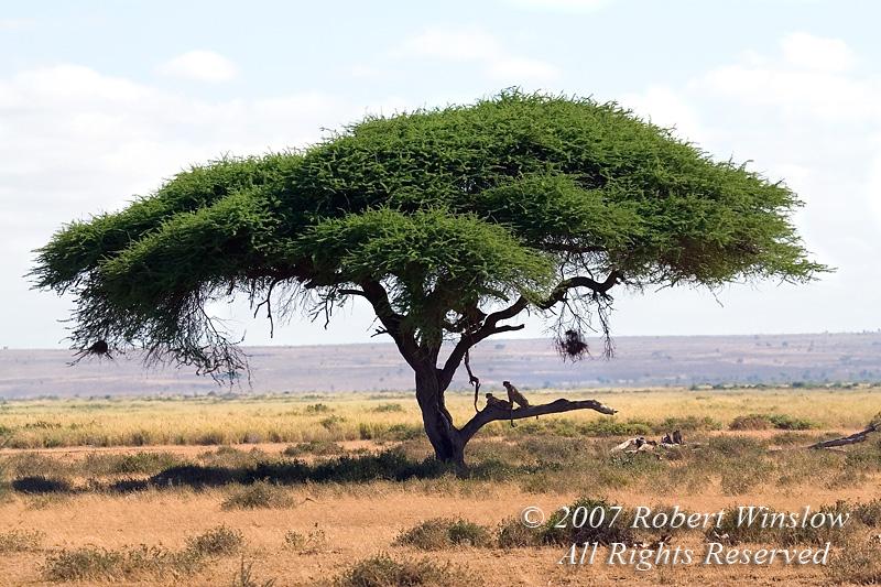 Two Cheetahs in an Acacia Tree (Acinonyx jubatus), Amboseli National Park, Kenya, Africa