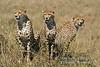 Three Cheetah, Acinonyx jubatus, Masai Mara National Reserve, Kenya, Africa, Carnivora Order, Felidae Family