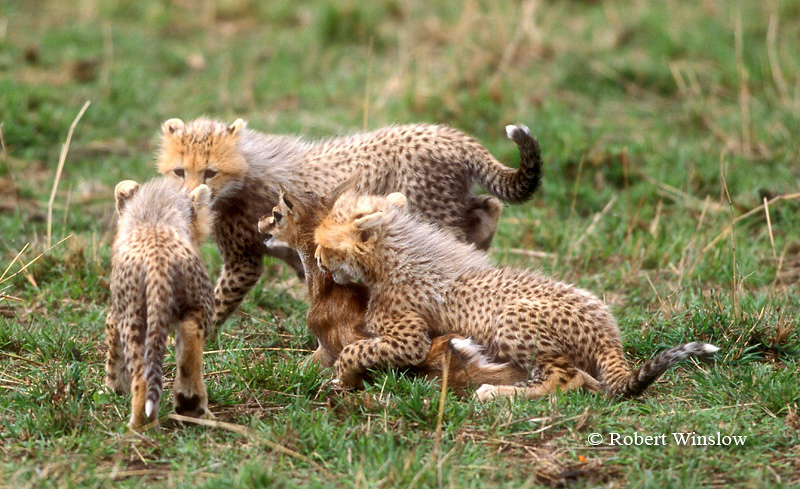 Three young Cheetahs (Acinonyx jubatus),  With Thomson's Gazalle that was Caught by their Mother for them to learn with, Masai Mara National Reserve, Kenya