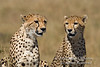 Two Cheetahs, Acinonyx jubatus, Red Oat Grass, Masai Mara National Reserve, Kenya, Africa, Carnivora Order, Felidae Family