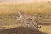 Mother and Baby Cheetahs, Acinonyx jubatus, Masai Mara National Reserve, Kenya, Africa