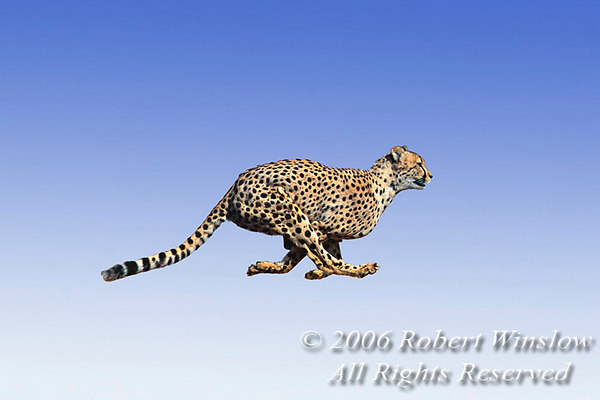 cheetah running, legs outstretched
