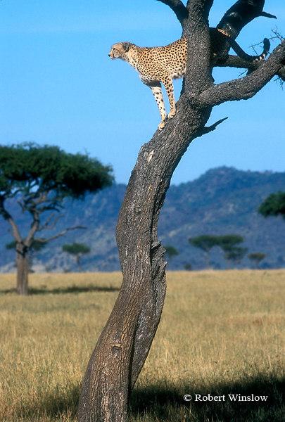 Female Cheetah (Acinonyx jubatus), In a Tree Looking for Lost Kitten, Masai Mara National Reserve, Kenya