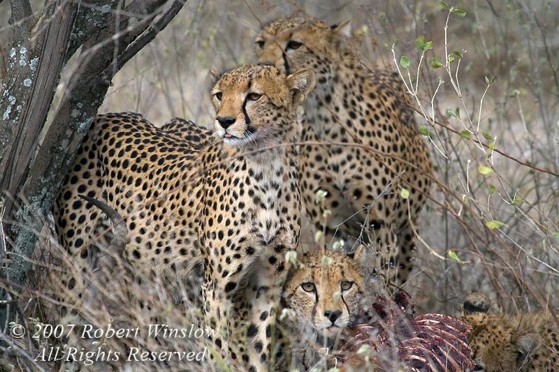 Four Cheetahs (Acinonyx jubatus), Feeding on an Impala, Samburu National Reserve, Kenya, Africa