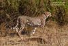 Cheetah, Acinonyx jubatus, Samburu National Reserve, Kenya, Africa, Carnivora Order, Felidae Family