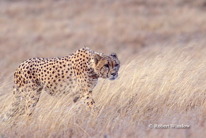 Cheetah (Acinonyx jubatus), controlled conditions