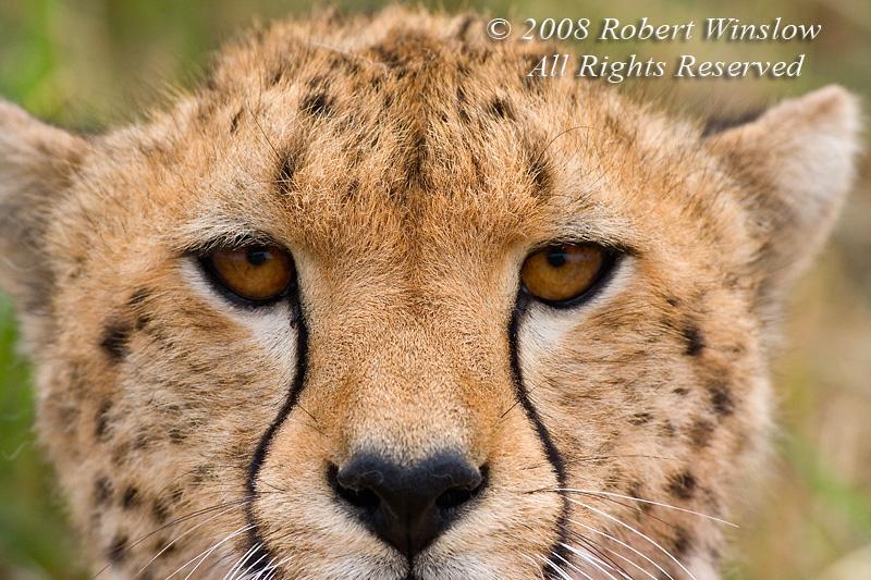 Cheetah, Acinonyx jubatus, Masai Mara National Reserve, Kenya, Africa, Carnivora Order, Felidae Family