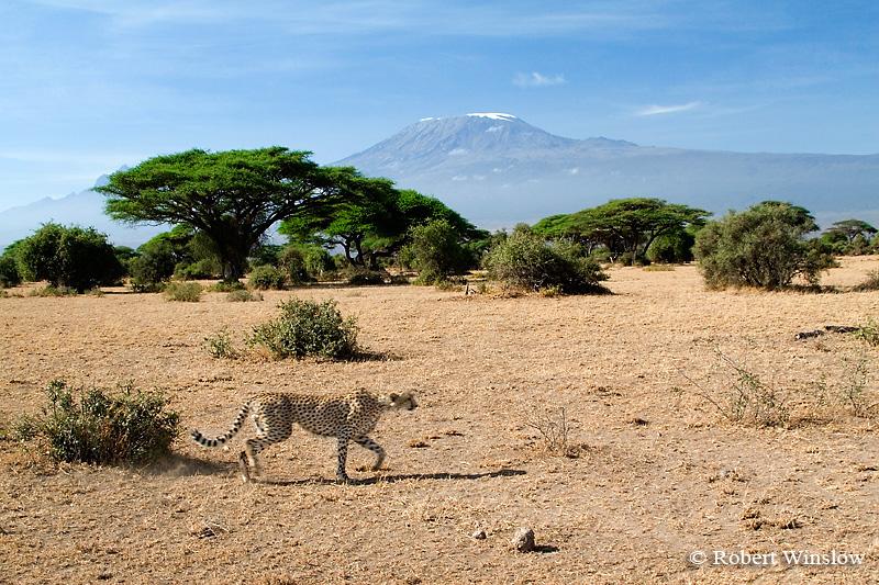 Cheetah (Acinonyx jubatus), Mt. Kilimanjaro, Amboseli National Park, Kenya
