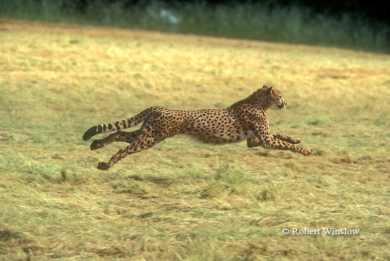 Running Cheetah (Acinonyx jubatus), controlled conditions