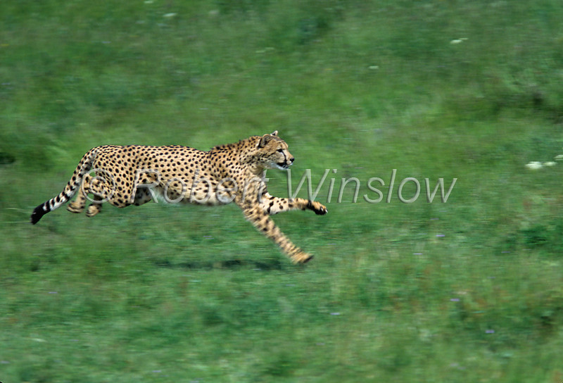 Running Cheetah, Acinonyx jubatus, controlled conditions