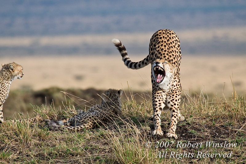 Stretch and Yawn, Mother and Baby Cheetahs, Masai Mara National Reserve, Kenya, Africa