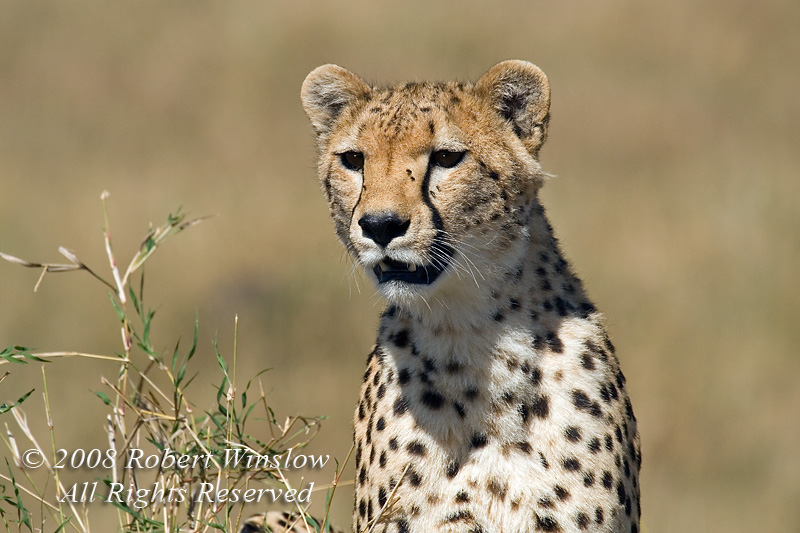 Female Cheetah, Acinonyx jubatus, With Flies on Her Face, Masai Mara National Reserve, Kenya, Africa, Carnivora Order, Felidae Family