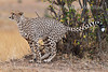 Cheetah, Acinonyx jubatus, Scent Marking, Masai Mara National Reserve, Kenya, Africa, Carnivora Order, Felidae Family