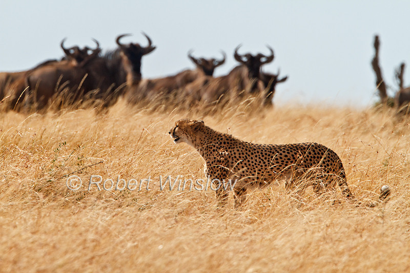 Cheetah, Acinonyx jubatus, Wildebeest watching, but Cheetah will not hunt them, Red Oat Grass, Masai Mara National Reserve, Kenya, Africa, Carnivora Order, Felidae Family