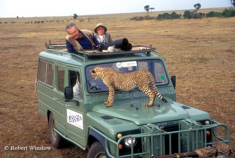 Model Released, Young Cheetah (Acinonyx jubatus), on Safari Vehicle, Masai Mara National Reserve, Kenya