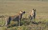 Two subadult Cheetahs, Acinonyx jubatus, Masai Mara National Reserve, Kenya, Africa, Carnivora Order, Felidae Family