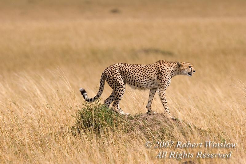 Cheetah (Acinonyx jubatus), Red Oat Grass, Masai Mara National Reserve, Kenya