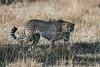 Cheetah, Acinonyx jubatus, Ol Pejeta Conservancy, Kenya, Africa, Carnivora Order, Felidae Family