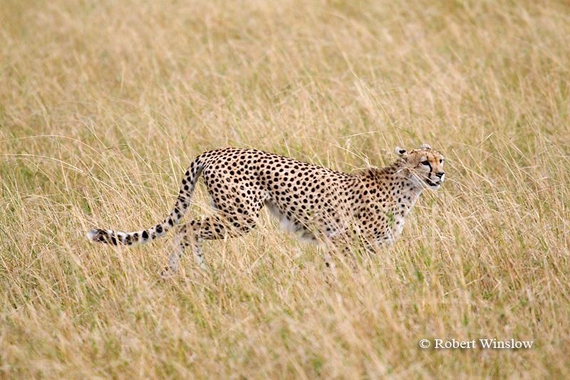 Running Cheetah (Acinonyx jubatus), Masai Mara, Kenya, Africa