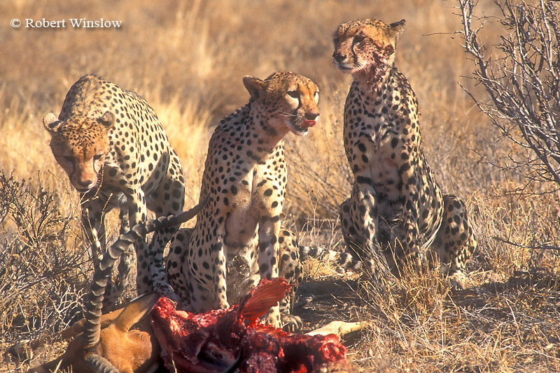 Three Male Cheetahs (Acinonyx jubatus), Feeding on an Impala that it Caught, Samburu National Reserve, Kenya