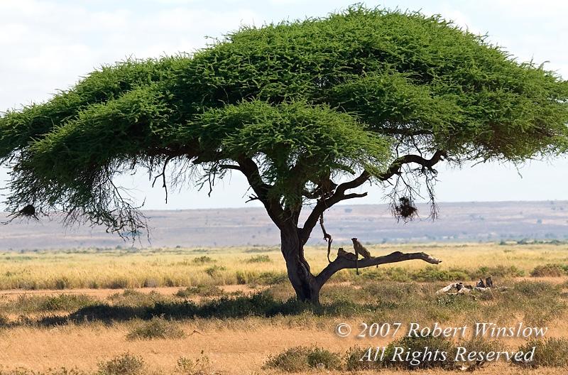Two Cheetahs in a Tree (Acinonyx jubatus), Amboseli National Park, Kenya, Africa