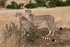Cheetah Mother on right with Juvenile, Acinonyx jubatus, Masai Mara National Reserve, Kenya, Carnivora Order, Felidae Family