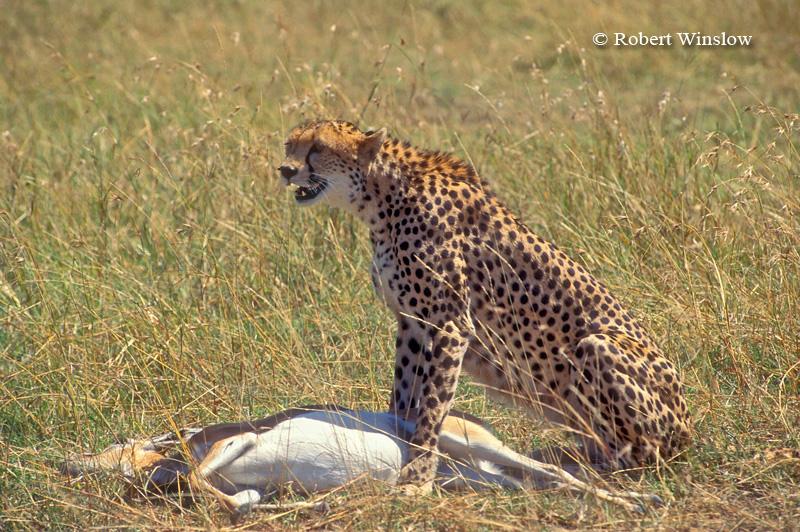 Cheetah (Acinonyx jubatus), With Thomson's Gazelle that it Caught, Masai Mara National Reserve, Kenya
