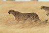 Cheetah, Acinonyx jubatus, Red Oat Grass, Hunting, Masai Mara National Reserve, Kenya, Africa, Carnivora Order, Felidae Family