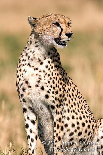 Cheetah (Acinonyx jubatus), Masai Mara National Reserve, Kenya