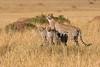 Mother and Baby Cheetah, Acinonyx jubatus,  Red Oat Grass, Masai Mara National Reserve, Kenya, Africa
