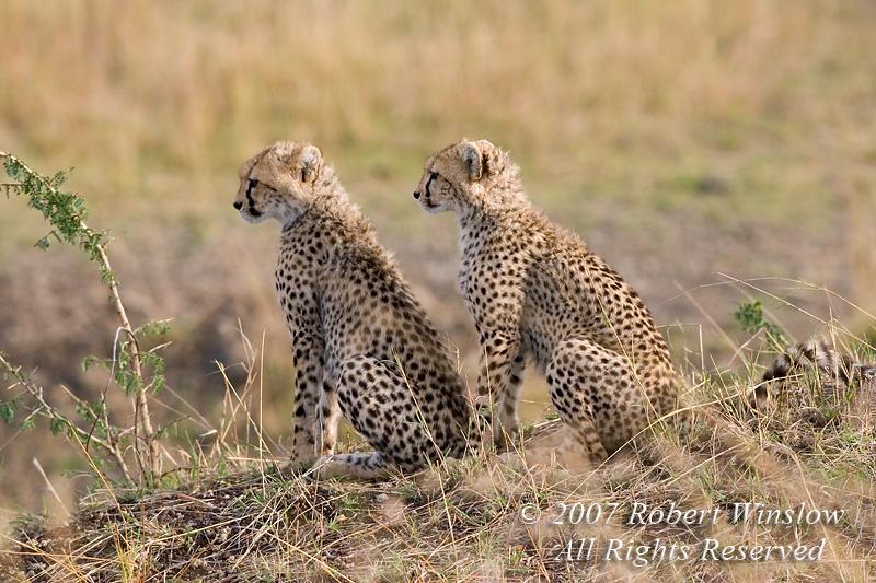 Baby Cheetah, Masai Mara National Reserve, Kenya, Africa