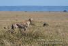 Cheetah, Acinonyx jubatus, Red Oat Grass, Masai Mara National Reserve, Kenya, Africa, Carnivora Order, Felidae Family