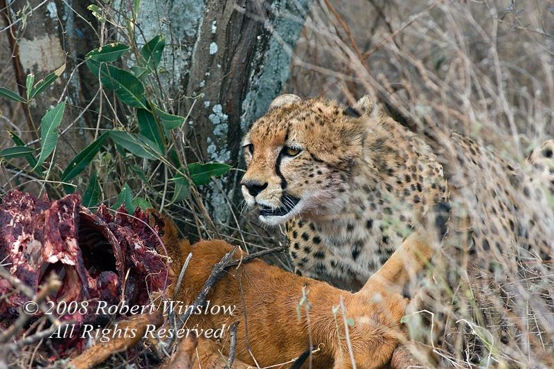 Cheetah, Acinonyx jubatus, With an Impala Kill, Samburu National Reserve, Kenya, Africa, Carnivora Order, Felidae Family