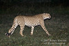 Male Cheetah Walking at Night, Acinonyx jubatus, Ol Pejeta Conservancy, Kenya, Africa