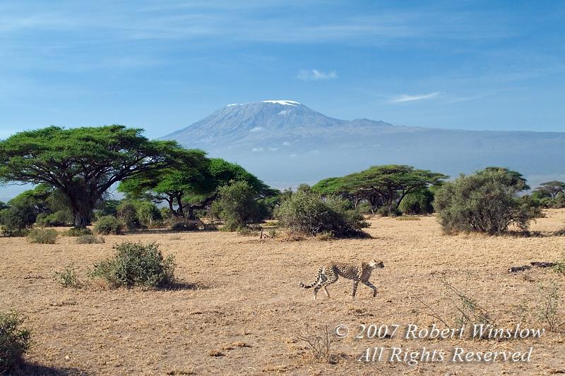 Cheetah (Acinonyx jubatus), Mount Kilimanjaro, Amboseli National Park, Kenya, Africa