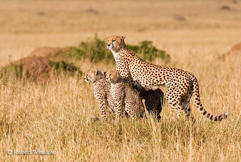 Cheetah Mother with babies (Acinonyx jubatus), Masai Mara National Reserve, Kenya