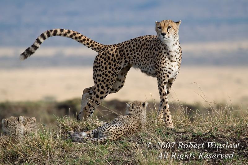 Mother and Baby Cheetahs, Masai Mara National Reserve, Kenya, Africa