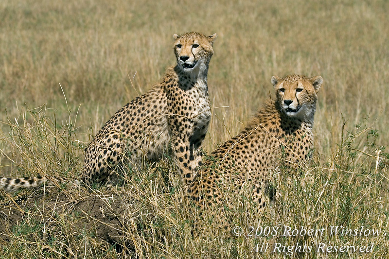 Cheetahs, Mother with Subadult, Acinonyx jubatus, Red Oat Grass, Masai Mara National Reserve, Kenya, Africa, Carnivora Order, Felidae Family