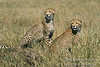 Cheetahs, Mother with Subadult, Acinonyx jubatus, Red Oat Grass, Masai Mara National Reserve, Kenya, Africa, Carnivora Order, Felidae Family
