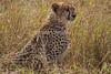 Cheetah, Acinonyx jubatus, Juvenile, Red Oat Grass, Masai Mara National Reserve, Kenya, Africa, Carnivora Order, Felidae Family