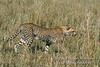 Subadult Cheetah, Acinonyx jubatus, Red Oat Grass, Masai Mara National Reserve, Kenya, Africa, Carnivora Order, Felidae Family
