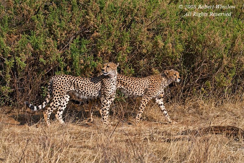 Two Cheetahs, Acinonyx jubatus, Samburu National Reserve, Kenya, Africa, Carnivora Order, Felidae Family